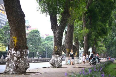 Hàng xà cừ trăm tuổi trên đường Kim Mã trước ngày bị di dời