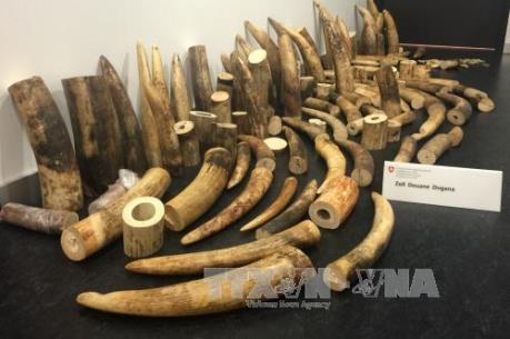 Mỹ bắt giữ lô hàng ngà voi trị giá 4,5 triệu USD