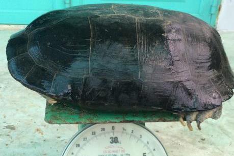 Cụ rùa gần 50 tuổi mắc cạn trong ao tôm ở Bạc Liêu