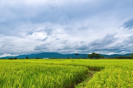 Thái Lan xây dựng các nông trại trồng lúa quy mô lớn