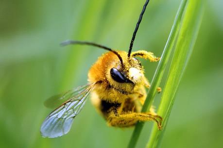 Thuốc trừ sâu ảnh hưởng đến chức năng sinh sản của loài ong