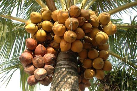 Làm giàu từ trồng dừa xiêm đỏ