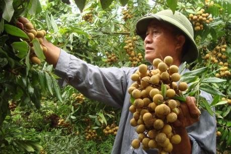 Nhãn tươi Việt Nam đã xâm nhập thị trường Malaysia