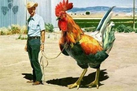 Brazil nuôi lai tạo thành công gà lớn nhất thế giới