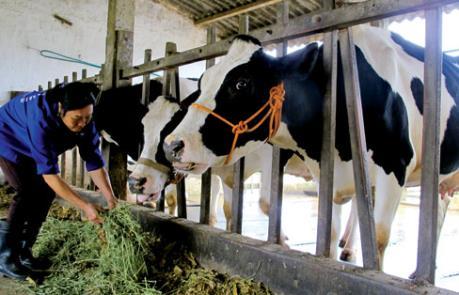 Hiệu quả kinh tế từ lai tạo giống bò