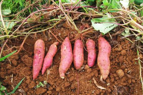 Người trồng khoai lang ở Đắk Nông điêu đứng vì bệnh chết dây