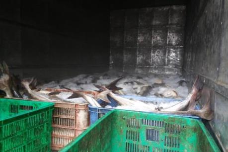Vụ cá nuôi lồng bè ở Long Sơn (Vũng Tàu) chết: Đã xác định được nguyên nhân chính