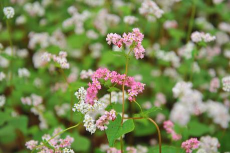 Ấn tượng những chùm hoa tam giác mạch tinh khôi nơi địa đầu Tổ quốc