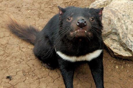 Loài quỷ Tasmania có thể tránh được nguy cơ tuyệt chủng nhờ tự biến đổi gien