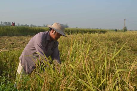 Ứng phó với bão số 7: Thái Bình khẩn trương thu hoạch lúa mùa