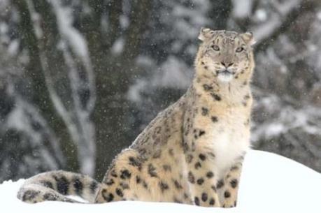 Báo tuyết quý hiếm ở Trung Á đang đứng trước nguy cơ bị tuyệt chủng