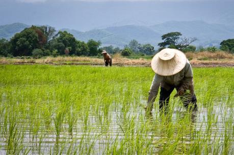 Chính phủ Thái Lan tăng hỗ trợ nông dân để ổn định thị trường gạo