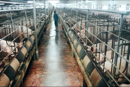 Đầu tư 1.000 tỷ đồng xây dựng trang trại chăn nuôi lợn kỹ thuật cao