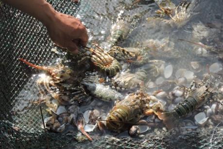Phú Yên: Tôm hùm chết hàng loạt do nước lũ đổ về