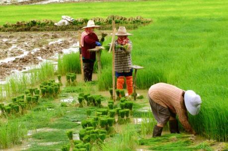 Thái Lan sẽ dành 514 triệu USD hỗ trợ nông dân sản xuất lúa gạo