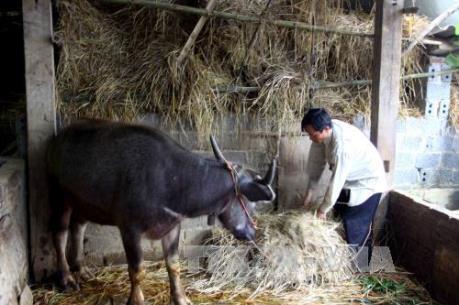 Chủ động phòng, chống đói, rét cho gia súc