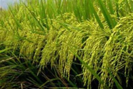Cần Thơ hợp tác với Hàn Quốc trong chế biến và xuất khẩu lúa gạo