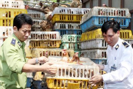 Tiêu hủy hơn 1,6 tấn gà nhập lậu từ Trung Quốc