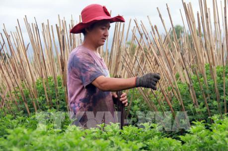 Mưa rét kéo dài, làng trồng hoa Tết Khánh Hòa gặp khó