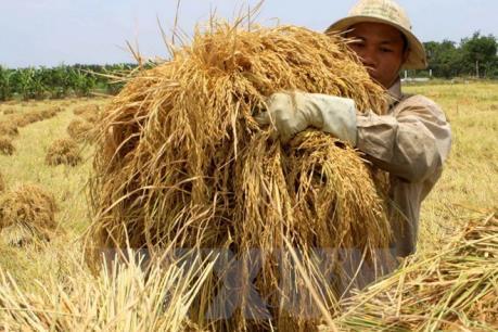 Hiện trạng công nghệ chọn tạo giống lúa ở Việt Nam
