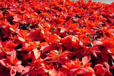 Mexico tạo tấm thảm hoa lớn nhất thế giới