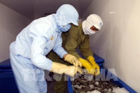 Xử lý nghiêm hành vi cố tình đưa tạp chất vào tôm nguyên liệu