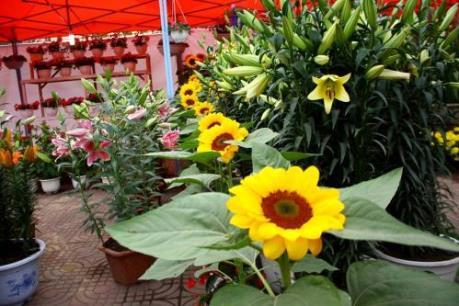 Đặc sắc Hội hoa Xuân Hoành Bồ, Quảng Ninh