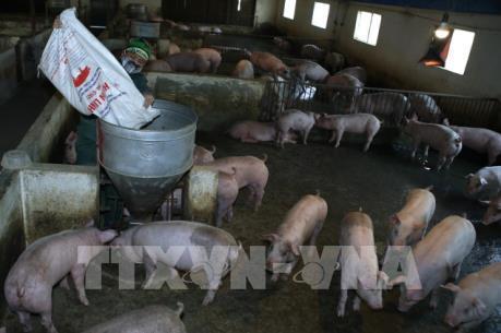Giá lợn hơi xuống thấp, người chăn nuôi gặp khó