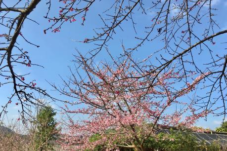 Lạc trôi đến vùng đất đầu tiên tại Việt Nam trồng được hoa anh đào