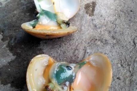Hiện tượng ngao xanh ruột tại Vân Đồn có thể do tảo