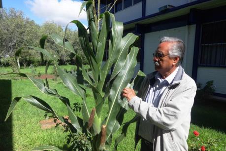 Mexico lai tạo thành công 10 giống ngô chịu hạn