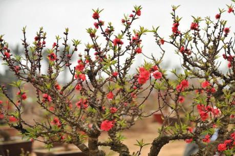 Thú chơi hoa ngày Tết: Bài 1 - Đào thất thốn, nghề chơi công phu đất kinh kỳ
