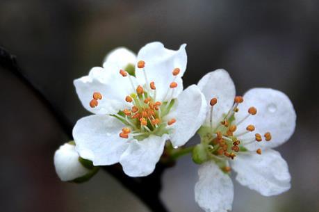 Thú chơi hoa ngày Tết: Bài 2 - Mai trắng, loài hoa đại diện cho mùa Xuân