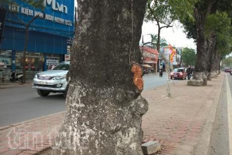 Hà Nội: Hàng chục cây xà cừ trên đường Láng bị đẽo vỏ