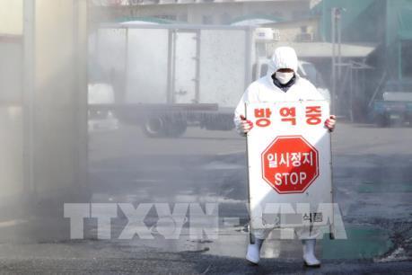 Hàn Quốc nỗ lực dập dịch lở mồm long móng