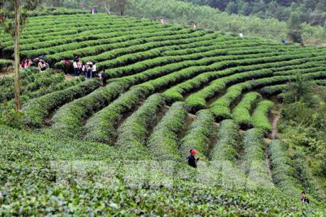 Chủ tịch Hiệp hội Chè Mỹ: Thời cơ đang rất thuận lợi cho chè Việt Nam