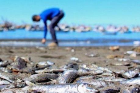 Chile: Cá hồi chết hàng loạt do tảo độc nở hoa