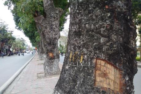 Hà Nội: Làm rõ người đục vỏ hàng cây xà cừ trên đường Láng