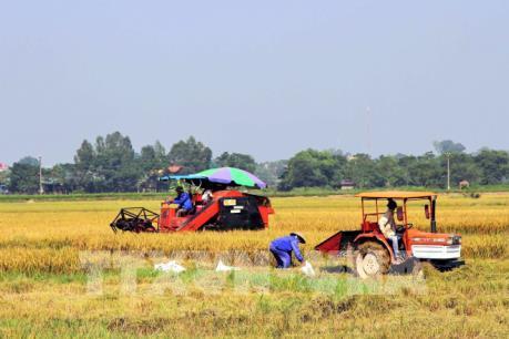 Lúa Đông Xuân thu hoạch sớm có giá cao