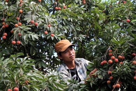 Nông dân Thanh Hà lo mất mùa vải thiều