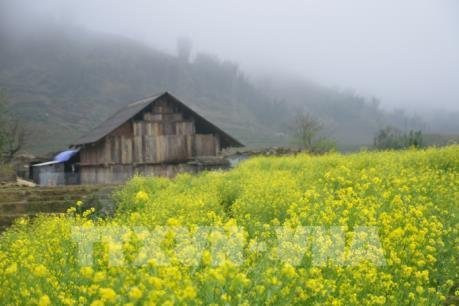 Hoa cải nở vàng ở bản Cát Cát, Sapa