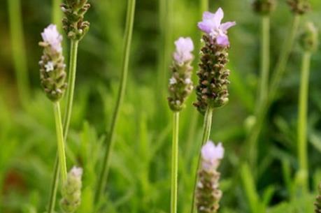 Lạc trôi giữa cánh đồng hoa lavender lần đầu tiên xuất hiện tại Hà Nội