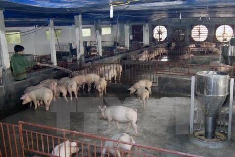 Khẩn: Tp. Hồ Chí Minh sẽ khởi tố vi phạm nghiệm trọng về chất lượng thịt lợn