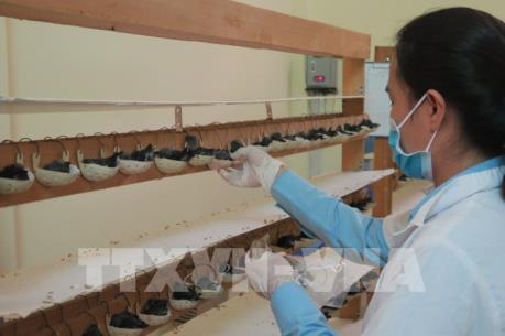 Nghề nuôi chim yến tại Việt Nam: Chưa xứng với tiềm năng