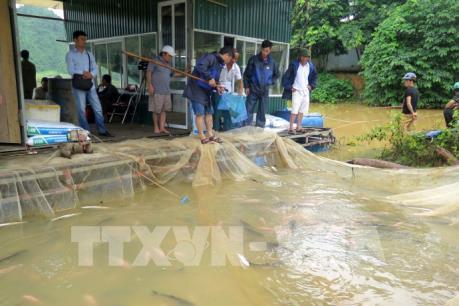 Thủy điện Tuyên Quang xả lũ: Hơn 70 tấn cá bị nước cuốn trôi