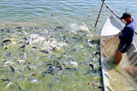 Người nuôi cá tra ở Đồng Tháp đã có lãi