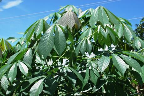 Tây Ninh: Bệnh khảm lá sắn lan nhanh