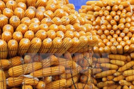 Nghịch lý nhập khẩu thức ăn chăn nuôi