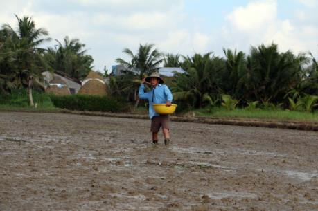 Bất chấp khuyến cáo, nông dân Bến Tre vẫn xuống giống vụ Thu Đông