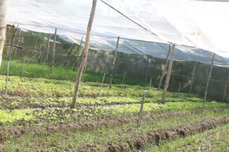 Sóc Trăng quy hoạch, phát triển sản xuất rau sạch